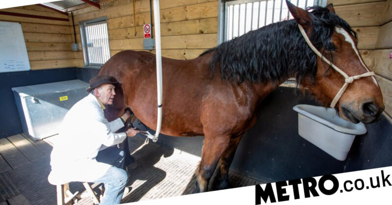 Man milks his horses 3-5 times a day and sells the milk for £13 a pint