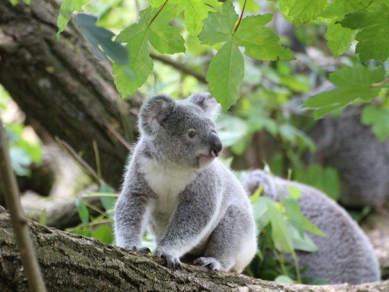 koala bear on grey wood trunk on daytime