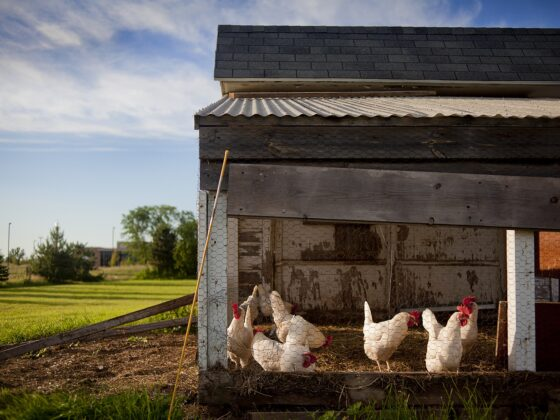 The Importance of a Chicken Coop 3